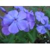 Отборные сортовые пионы,  розы,  тюльпаны,  гортензии,  клематисы,  удобрения